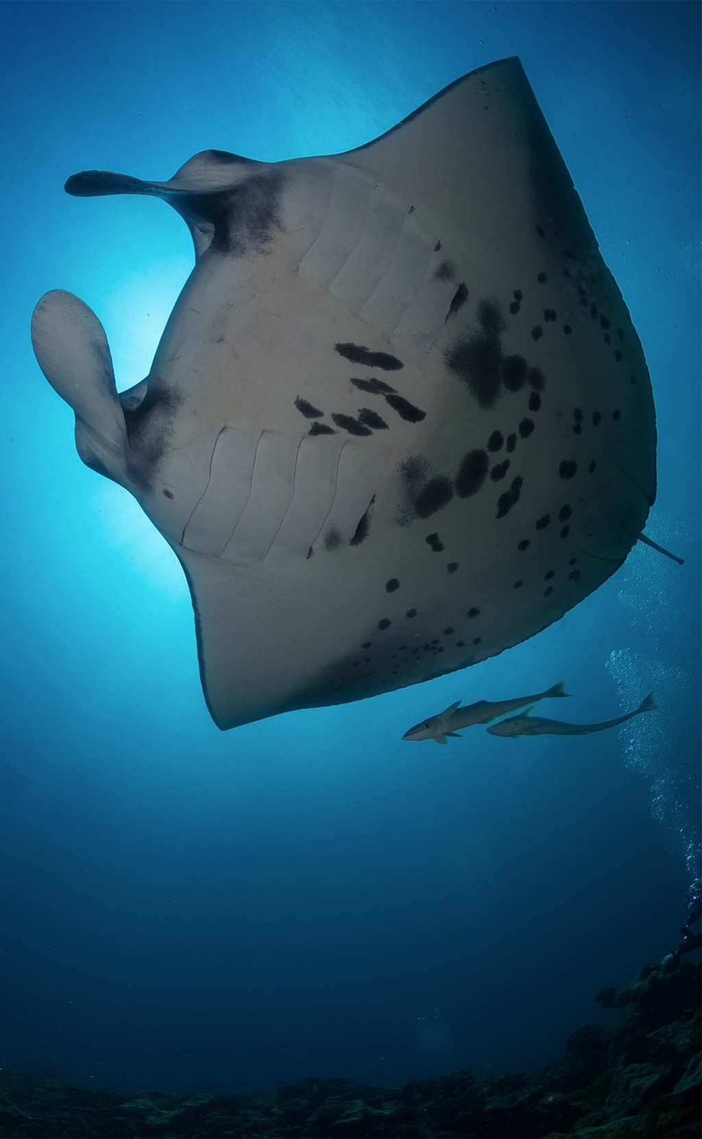 Manta ray from beneath