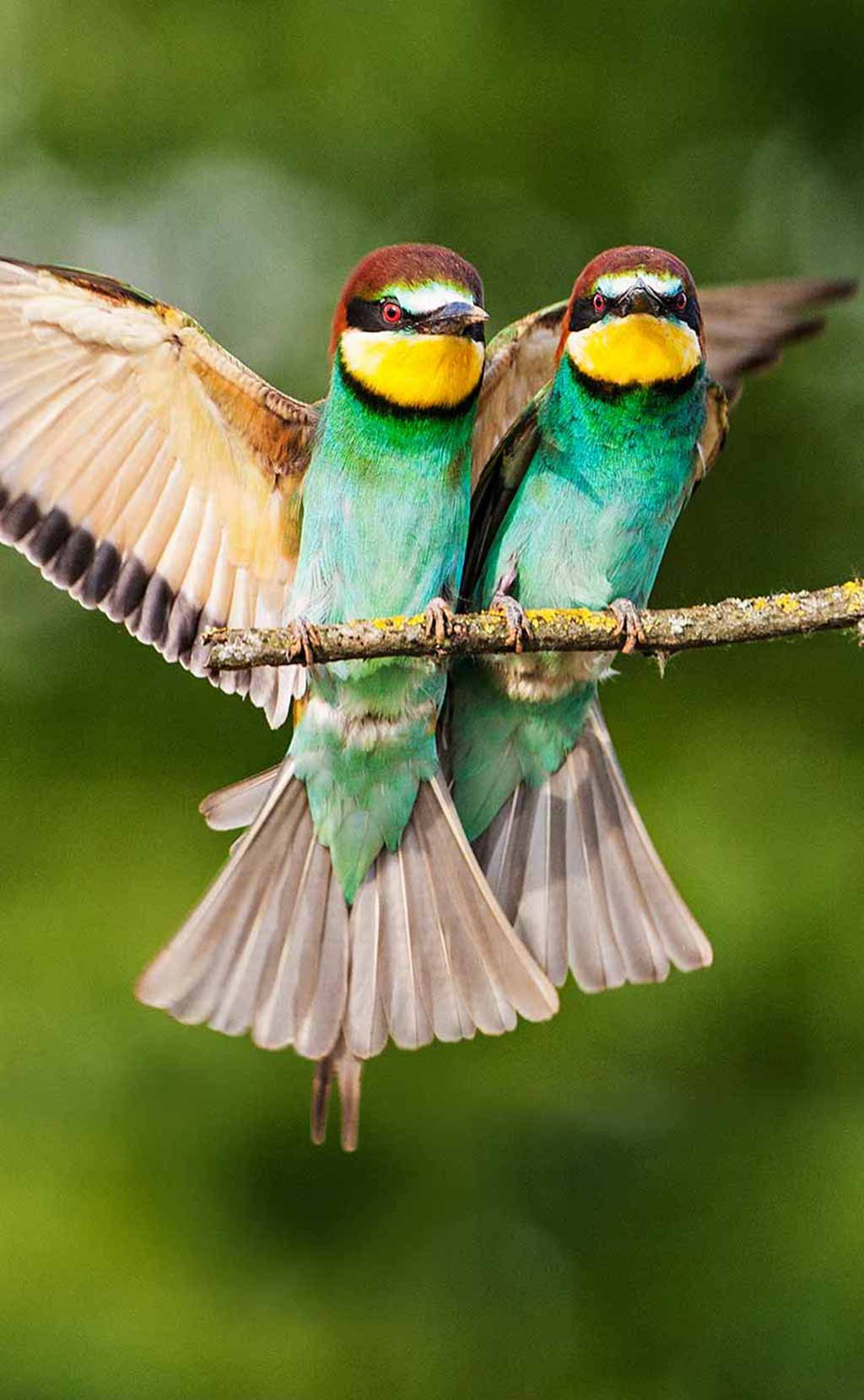 European bee-eaters pair