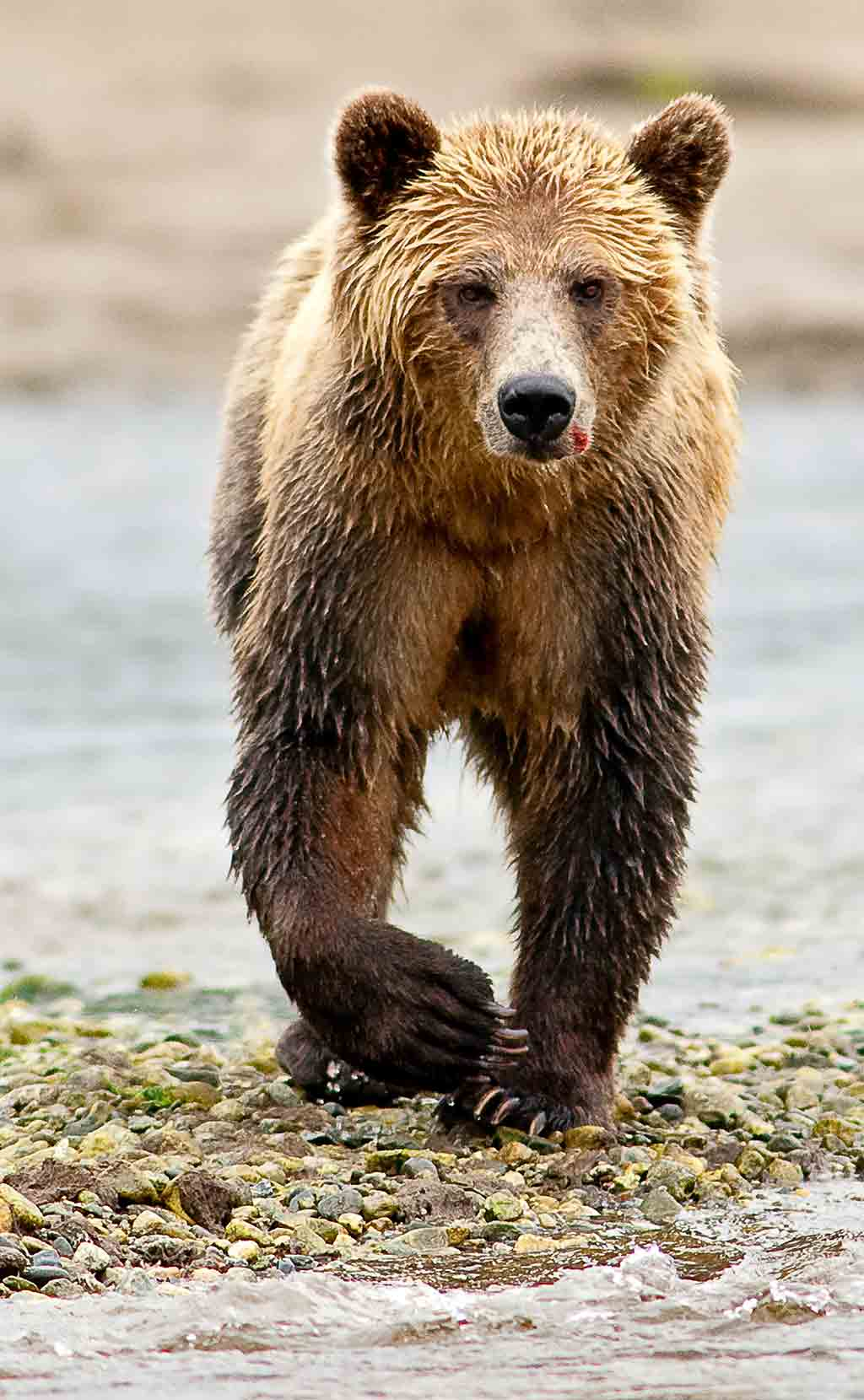 North American brown 'grizzly' bear